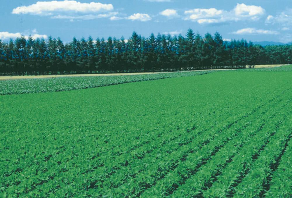 画像:北海道十勝産小豆畑